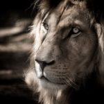 L'impasse des lions herbivores